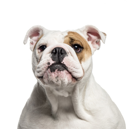 English Bulldog, 10 months old, in front of white background Stock Photo