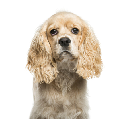 American Cocker Spaniel, 5 months old, in front of white background Stock Photo
