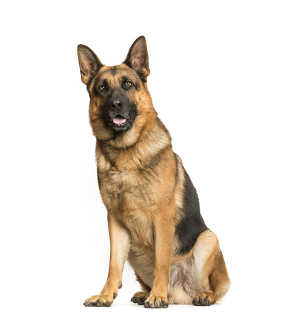 German Shepherd, 3 years old, sitting in front of white background