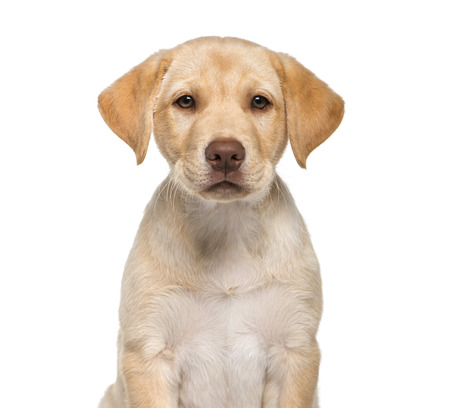 Labrador Retriever, 2 months old, sitting in front of white background