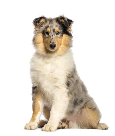 Rough Collie sitting in front of white background