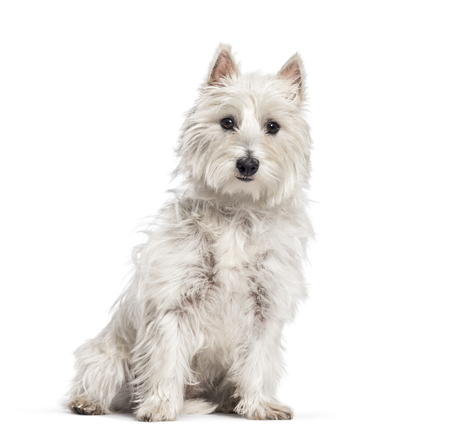 West Highland White Terrier sitting in front of white background Imagens