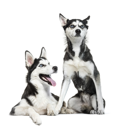 Siberian Husky sitting in front of white background Archivio Fotografico - 119669885