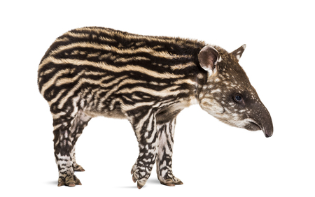 Month old Brazilian tapir standing in front of white background