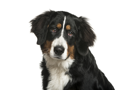 Bernese Mountain Dog, 6 months old, in front of white background