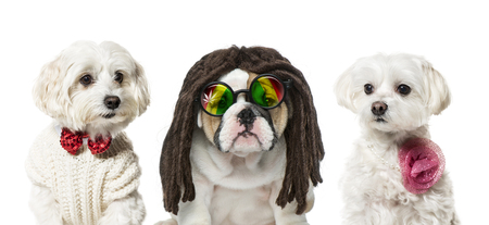 English bulldog puppy, Maltese dogs, in front of white background