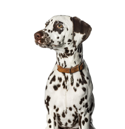 Dalmatian in front of white background Imagens