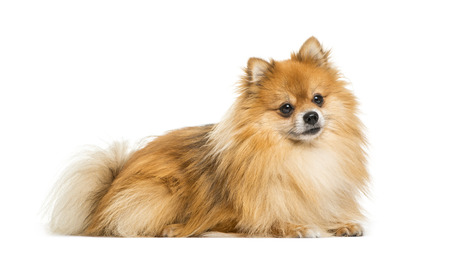 Pomeranian, 2 years old, lying in front of white background