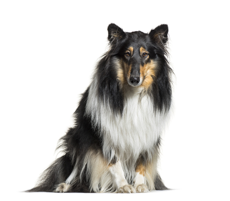 Rough Collie, 3 years old, sitting in front of white background Imagens