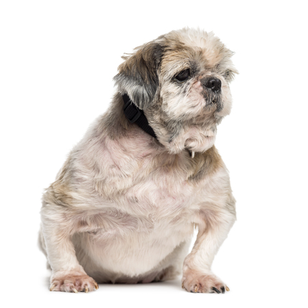 Old, fat, and sick crossbreed dog sitting in front of white background