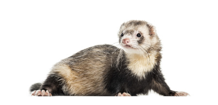 Ferret, 1 year old, lying in front of white background Stockfoto