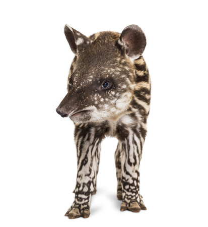 2 Month old Brazilian tapir standing in front of white background