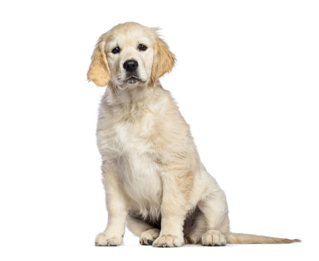 Golden Retriever, 3 months old, sitting in front of white background Stockfoto