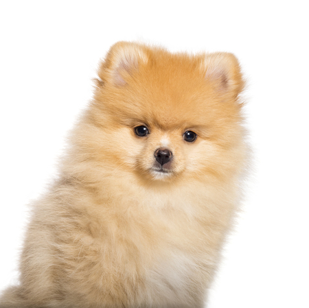 Pomeranian, 4 months old, in front of white background