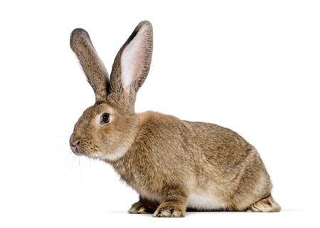 Lapin géant flamand, 6 mois, in front of white background