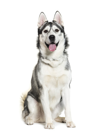 Siberian Husky sitting in front of white background 写真素材