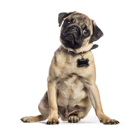 Pug, 4 months old, sitting in front of white background Stock Photo