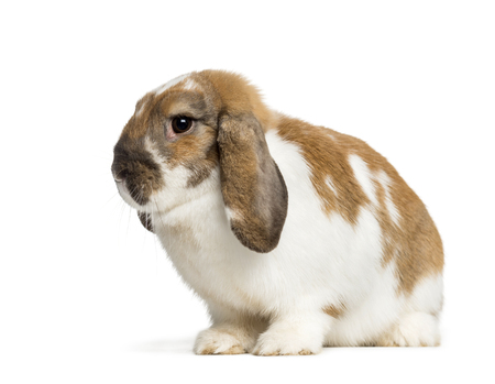 Holland Lop in front of white background Imagens