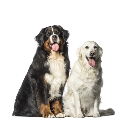 Bernese Mountain dog, Golden Retriever sitting in front of white background Stock Photo