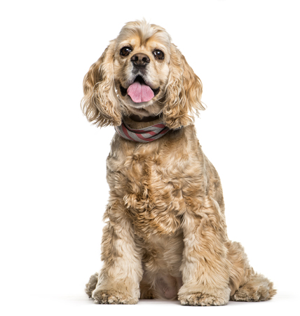 American Cocker Spaniel sitting in front of white background Фото со стока