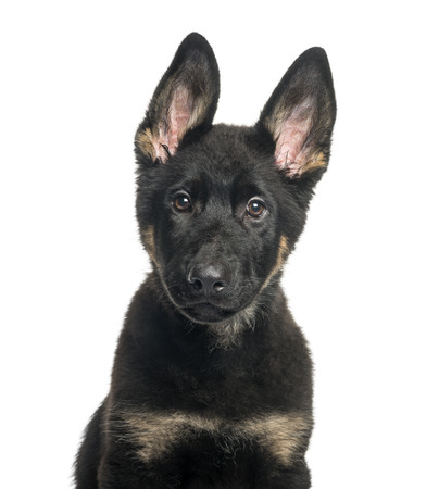 Mixed breed dog, 4 months old, in front of white background