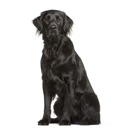 Flat Coated Retriever sitting in front of white background Stock fotó