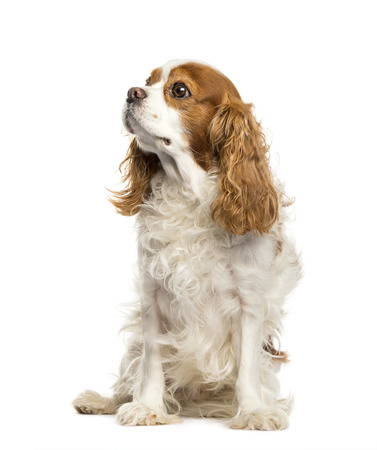 Cavalier King Charles Spaniel sitting in front of white background 版權商用圖片