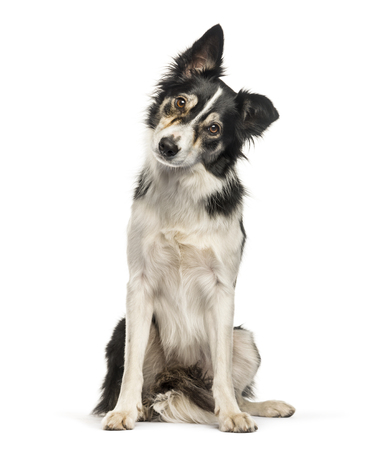 Border Collie sitting in front of white background