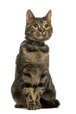 Mixed breed cat sitting in front of white background Imagens