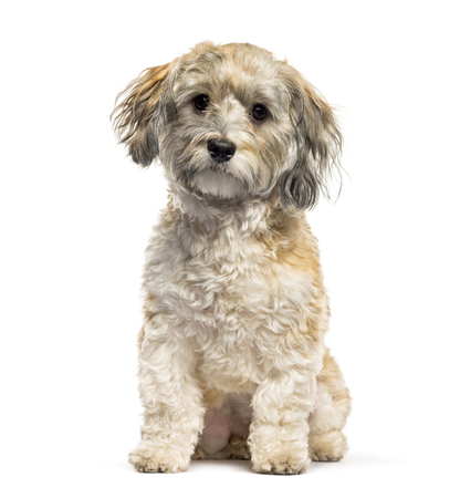 Havanese dog sitting in front of white background Stock fotó - 121567472