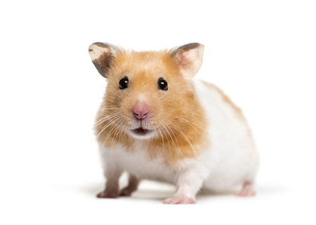 Golden Hamster in front of white background Stock fotó - 121567487