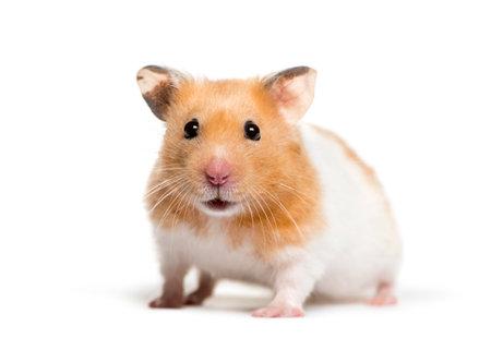 Hamster doré devant fond blanc