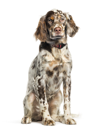 English Setter, 6 months old, sitting in front of white background