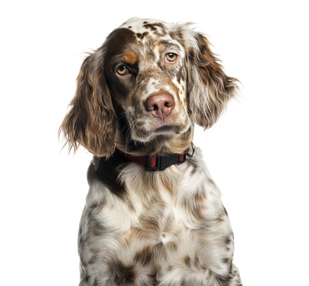 English Setter, 6 months old, in front of white background