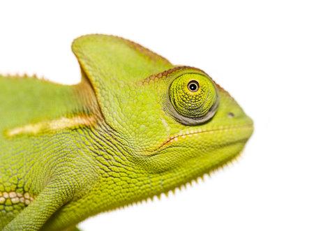 Green Chameleon, Chamaeleo chameleon, in front of white background