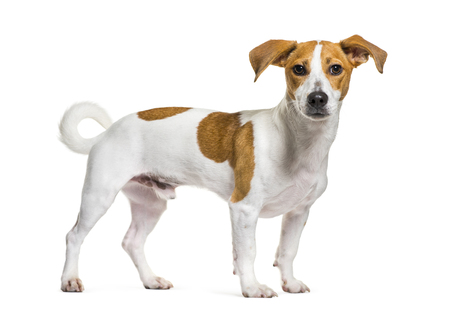 Jack Russell Terrier in front of white background