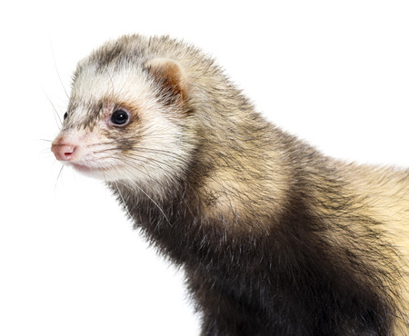 Ferret in front of white background Stockfoto