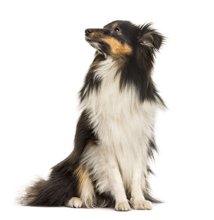 Shetland Sheepdog, 10 months old, sitting in front of white background Imagens
