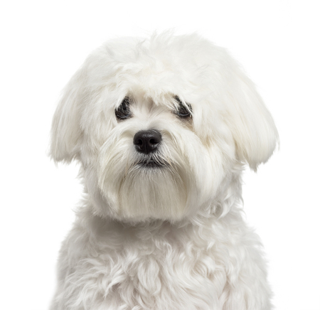 Bichon Frise in front of white background