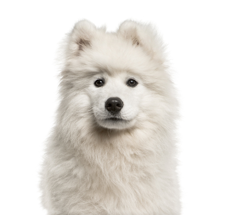 Samoyed dog, 4 months old, in front of white background
