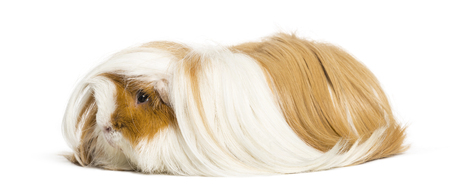 Guinea pig in front of white background Stock fotó - 121568084