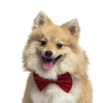 Pomeranian dog, 9 months old, in front of white background