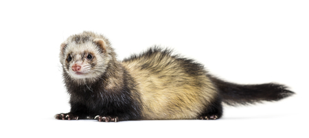 Ferret lying in front of white background Stockfoto