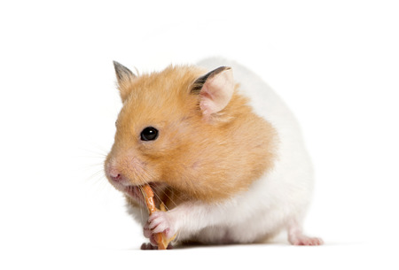 Golden Hamster eating in front of white background