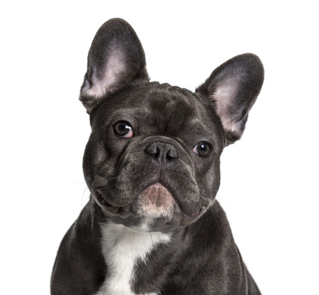 French Bulldog , 7months, looking at camera against white background