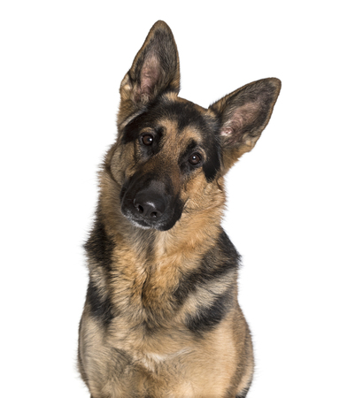 German Shepherd looking at camera against white background Stockfoto