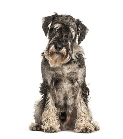 Standard Schnauzer sitting against white background