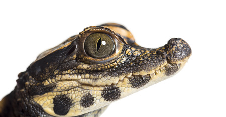 Dwarf crocodile, Osteolaemus tetraspis also know as African dwarf crocodile, broad-snouted crocodile, or bony crocodile looking at camera against white background