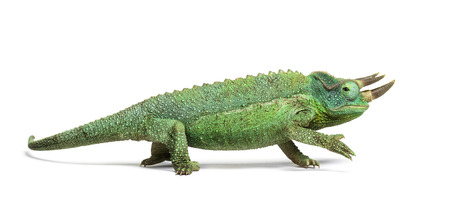 Side view of a Jackson's horned chameleon walking, Trioceros jacksonii, isolated on white looking at camera against white background Stock Photo