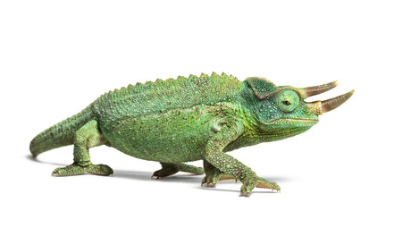 Side view of a Jackson's horned chameleon walking, Trioceros jacksonii, isolated on white looking at camera against white background